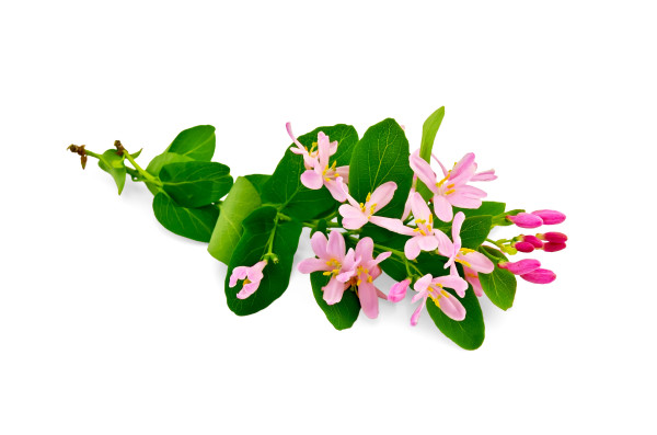 Two sprigs of honeysuckle with pink flowers and green leaves isolated on white background